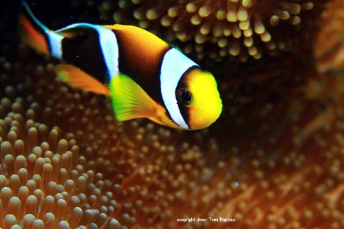 Marine biological, marine ecological footprints and marine biodiversity …Marine Science Journalism ,the observation,reporting and research  in  underwater Mauritius and worlwide-Republique de Maurice . photos and written by Jean-YvesBignoux