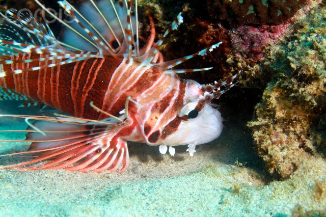 07 Sep 2010, Port Louis, Mauritius --- The juvenile Firefish ,attains 20 cm, as with the dorsal spines ,they are poisonous,they are found in many areas of the lagoons in Mauritius. -- Magic and wonderful insights into the underwater world of Mauritius island. Port Louis. 2009-2011 --- Image by © Jean-Yves Linley Bignoux / Demot/Demotix/Corbis
